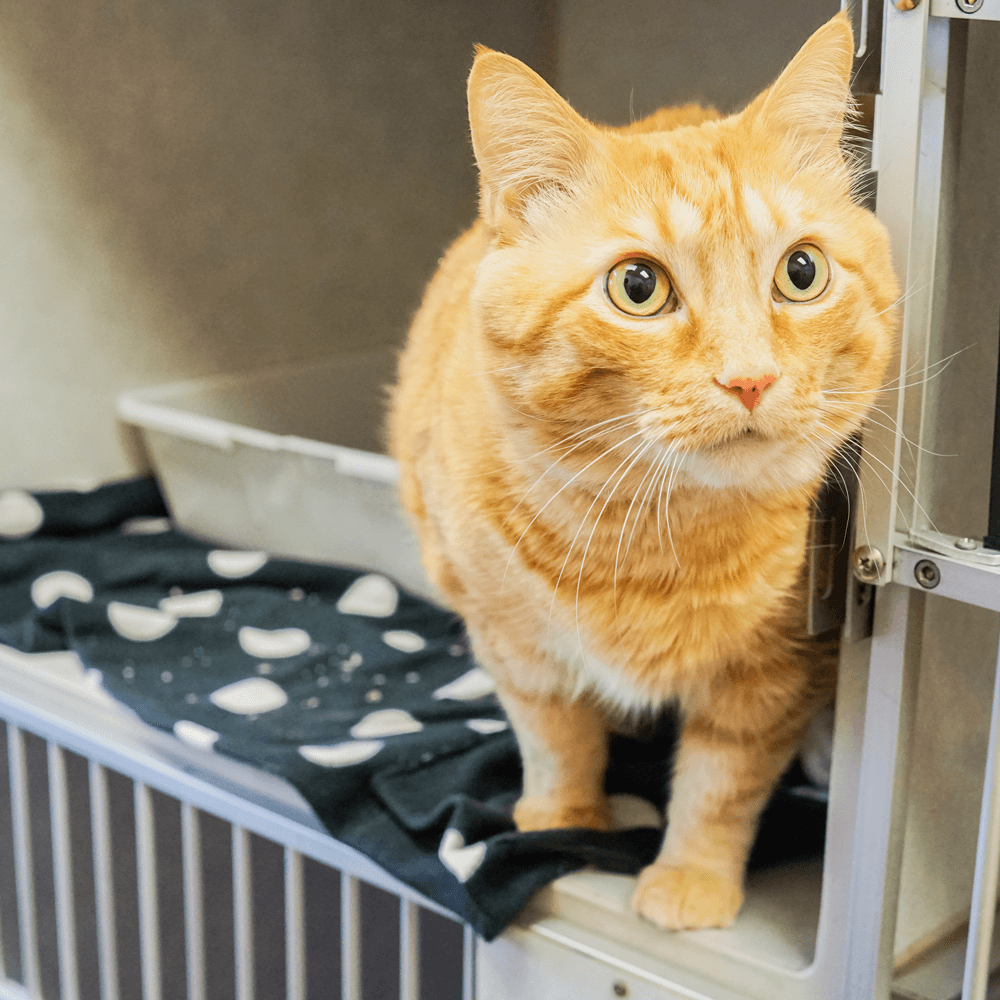Orange tabby looking out of kennel