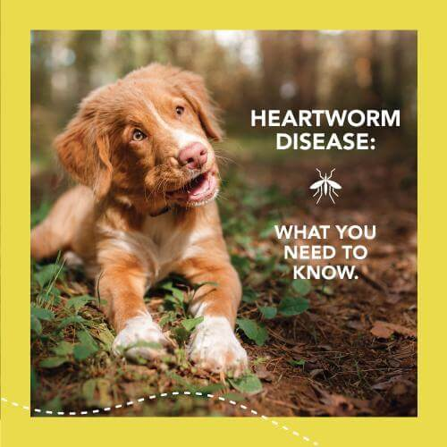 Heartworm disease, what you need to know