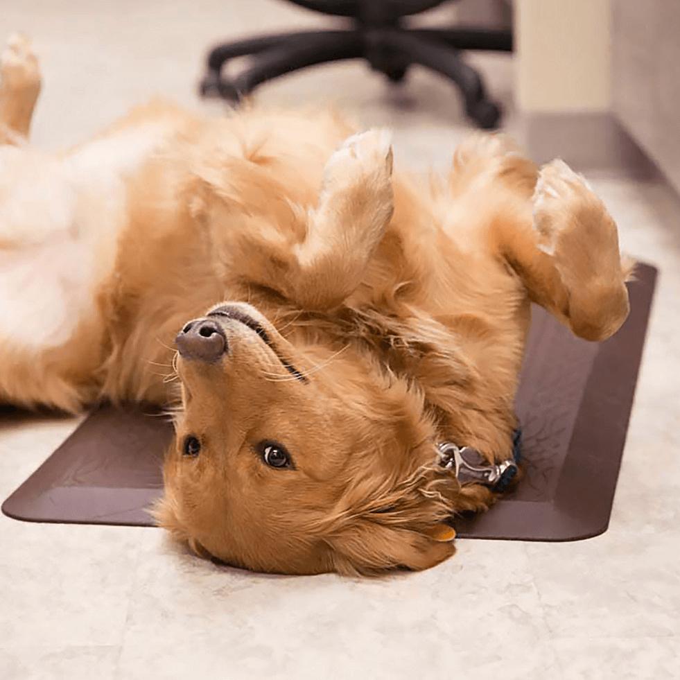 Golden retriever on floor